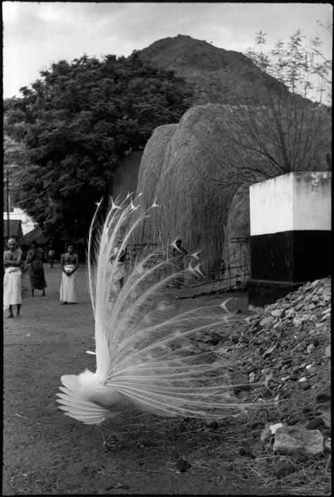 HCB_peacock